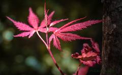 blood maple (Fay2603) Tags: light red plant flower green rot leave leaves yellow garden dark licht bush fuji outdoor pflanze gelb lightning blume blatt bltter busch schrfentiefe leuchten ahorn xt1 blutahorn
