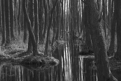 labyrinth (Mindaugas Buivydas) Tags: trees bw tree forest march spring swamp bog lithuania lietuva nemunasdelta nemunodelta nemunodeltosregioninisparkas nemunasdeltaregionalpark kintaiforest kintmikas