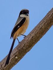 Long-tailed Shrike @ Tuas (C.K.X) Tags: birding birds birdsofsingapore canon7dmarkii canonef500f56 longtailedshrike singapore wildlife