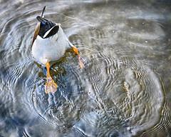 Shake Ya TailFeather (Fourteenfoottiger) Tags: bird nature water swimming swim duck pond upsidedown patterns bottom feathers textures ripples