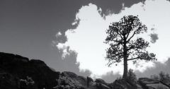 Yosemite Tree (ROSS HONG KONG) Tags: california leica blackandwhite bw cloud white mountain black tree nature monochrome clouds noir trail yosemite yosemitenationalpark monochrom outline blanc misttrail