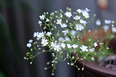 DSCF5672 (dltree76) Tags: flowers summer nature yard garden outdoors gardening flowerpot whiteflowers