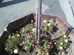 IMG12223 (chicore2011) Tags: municipalflowers pots