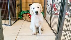 Charlie 11 weeks (Mark Rainbird) Tags: uk england dog canon puppy unitedkingdom retriever charlie powershots100 burghfieldcommon