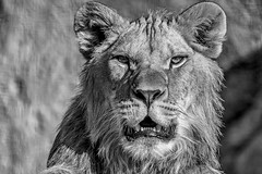 The King (sviet73) Tags: animal lion roi portrait noirblanc