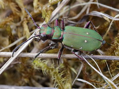 Cicindela campestris (Cicindelidae) (gbohne) Tags: geo:region=europe geo:country=germany canon dnche al animal tier arthropoda arthropods gliederfser taxonomy:phylum=arthropoda taxonomy:subphylum=hexapoda insects insekten insect insekt insecta taxonomy:class=insecta pterygota taxonomy:subclass=pterygota closeup identified sandlaufkfer tigerbeetles taxonomy:order=coleoptera taxonomy:subordeer=adephaga taxonomy:family=cicindelidae taxonomy:genus=cicindela taxonomy:binomial=cicindelacampestris adephaga laufkfer kfer beetles