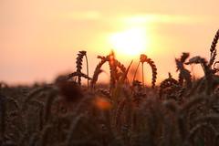 Weizen in der Abendsonne (janakintrup) Tags: sunset rot gold orange gelb weizen weizenfeld canon schrfeverlauf lensflares gegenlicht sonne sonnenschein abendsonne abendlicht pflanze abendstimmung natur