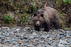 Grizzly Cub (fascinationwildlife) Tags: animal mammal brown bear grizzly bär cub kanada canada forest fall autumn river rain banks bute inlet bc british columbia wild wildlife nature natur
