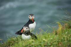 summertime and the living is easy ... (lunaryuna) Tags: scotland lunga treshnishisles uninhabitedislandpuffincolony puffins papageientaucher lundi pulcinelladimare fracterculaarctica seabirds summer season breedingseason seasonalwonders bokeh highcliff buff lunaryuna nature beauty
