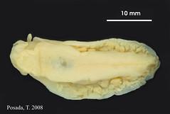 A_elongata_MOL_3902d.jpg (MaKuriwa) Tags: mollusca gastropoda nudibranchia arminidae armina holotipo snail caracol