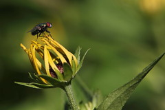 Diete (lincerosso) Tags: ditteri mosche moscaverde luciliasericata giardino fiori flowers rudbeckiaflava estate bellezza armonia