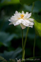 2016_HoumasHouse__JAB1435_12945 (jben1022) Tags: houmashouse lotusflower