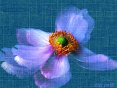 poppy (Sonja Parfitt) Tags: center layered texture blue yellow