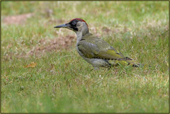 Green Woodpecker (image 2 of 2) (Full Moon Images) Tags: rspb sandy lodge thelodge wildlife nature reserve bedfordshire bird green woodpecker