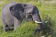 african bush elephant6 (loxodonta africana) (Colin Pacitti) Tags: africanbushelephant loxodontaafricana bushelephant elephant wildanimal animal mammal outdoor okavango botswana coth fantasticwildlife ngc npc hennysanimals
