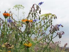 ckuchem-3088 (christine_kuchem) Tags: ackerrand bienenfreund bienenweide blumen blhstreifen feld felder klee landwirtschaft schmetterlingsbltler vogelschutz wiesenblume