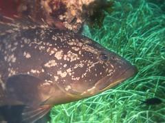P9240187-2 (juredel) Tags: mrou juredel olympus corb oxygene plonge diving scull scubadiving scuba wallpaper la vacca lavacca cerbicales ilescerbicales