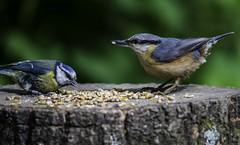 Nuthatch & a Bluetit (Dan Nash1) Tags: nature birds nikon wildlife lakes sigma os apo nuthatch staffordshire bluetit d800 tamworth middleton rspb 2015 hsm f563 150500mm