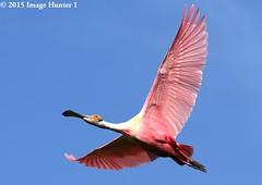 Roseate Spoonbill (Image Hunter 1) Tags: pink blue sky nature flying wings louisiana wildlife flight feathers wingspan roseatespoonbill wingspread canoneos7dmkii