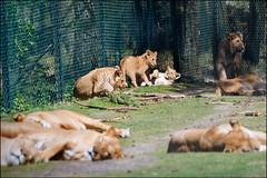 beekse bergen safari park (heavenuphere) Tags: park netherlands zoo europe wildlife lion nederland safari bergen 70300mm safaripark beeksebergen noordbrabant leeuw northbrabant beekse hilvarenbeek