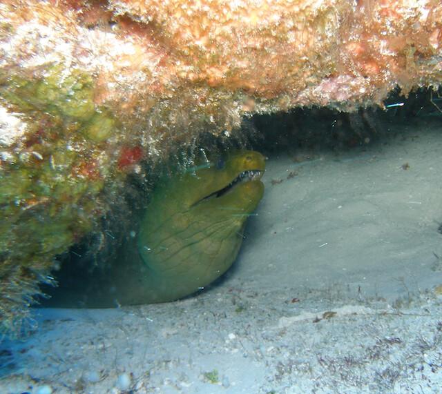 Adult Moray Eel