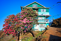 Tea house along the singalila ridge trek, Tumling, India (CamelKW) Tags: india house flower tree teahouse tumling rhododendrontree singalilanationalpark singalilaridgetrek sandakphusingalilatrek