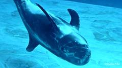 Belly Up (Haku_Orka) Tags: italy italia dolphin g mary lagoon laguna risso riccione delfino grampus grampo griseus oltremare