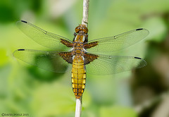 Female Broad Bodied Chaser (Crazybittern1) Tags: broadbodiedchaser sigma70300mmmacro nikond7000