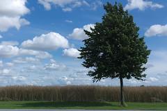 L1021329_v1 (Sigfrid Lundberg) Tags: leica trees plants rural landscape rapeseed karp burlv aposummicronm commonlimetree aposummicronm50mmasph 50mmf20asph