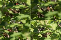Carouge  paulettes (stefdenis3006) Tags: nid triptyque juvnile carougepaulette passeraux animauxoiseaux parcdesrapidesdelachine photostypedetraitement grandparcsetespacepublique