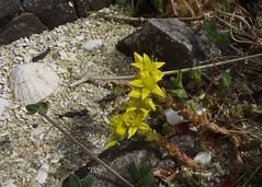 Sedum acre (Biting Stonecrop), Lon Liath, Arisaig, Scotland, 24.6.16 (respect_all_plants) Tags: bitingstonecrop sedumacre lonliath arisaig morar lochaber westhighlands wildflowers
