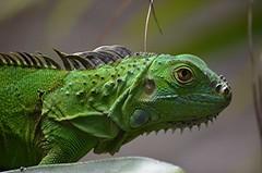 Iguana outside my bedroom window this morning! (jungle mama) Tags: iguara lizard green miami earshield thirdeye sybtympanicshield camouphlage tropicallizard prehistoric dewlap tail parietaleye ngc