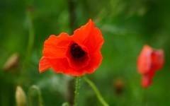 Hello, I'm your friend :-) (Jurek.P) Tags: masuria mazury poland polska poppies flowers wildnature meadow closeup nature summer jurekp sonya77