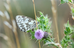 Feeding Marbled White! (RiverCrouchWalker) Tags: marbledwhite melanargiagalathea butterfly grass thistle feeding july summer 2016 insect leaves prickly fenncreek southwoodhamferrers essex