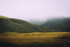 Along Highway 1 in fog (lasse christensen) Tags: dsc5719 usa california highway1 highwayone crossprosessing colors colours fog tke kuer cows