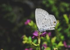 Random butterfly (kithnuwank) Tags: butterfly green nature morning randomclick happymoments nikonp600 nikonphotography wondersofnature pink macro