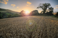 Sliding into a cliche 31/52 (rmrayner) Tags: sunsettingoverwheatfield lensflare hdr tweakerymighthaveoccured sliderssunday 52weeksthe2016edition field darming agriculture devon trees clouds sky light 3152 landscape harvest hss