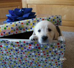 Puppy Present (Galactic Dreams) Tags: retriever puppy white golden sleeping gift present best ever dog black nose paw tiny pad adorable cute sleep wrap box boxed angela dax baby animal friend new spots pet goldenretriever puppysleeping bestgiftever cutepuppy cutegoldenretrieverpuppy cutepuppysleeping giftbox puppygift dailydax babyanimal bestfriend newfriend retrieverpuppy whitegoldenretriever birthday