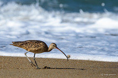 Don't play with your food! (craig goettsch) Tags: ocean california bird beach nature animal sand nikon wildlife ngc chase d750 avian sandcrab longbilledcurlew 14extender montereypeninsula molecrab 850mm salinasrivernwr