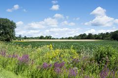 August in Ontario (Barbara A. White) Tags: ontario landscape august 2016 clouds wildflowers purpleloosestrife blueskies woodlawn westcarletoncounty farmland