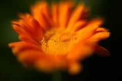 Orange Flower 13 Macro f1.2 (dennisgg2002) Tags: towerhillbotanicalgardenboylston massachusetts flowers vintage lens wide open
