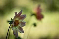 Blumen gehen immer (mkniebes) Tags: nature flower bokeh makroplanar2100 zeiss zf2 garden flora outdoor summer color blossom august macromonday macro green depthoffield fleur natur