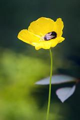 Forty Winks (Iain Brooks) Tags: nature flower bumble bee wildlife scotland highlands scottish uk nikon d610 sigma 70200 summer macro telephoto insect bug
