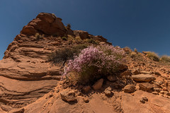 Page, AZ | Phlox on the Rocks (Facundity) Tags: pink arizona plant southwest rock landscape outdoors desert outdoor naturallight wideangle nopeople page flowering wildflowers northernarizona mound phlox 1022mm desertlandscape nativeplants desertplants 10mm navajosandstone theamericansouthwest nonurbanscene canoneos70d
