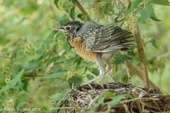 Last fledgling (rdroniuk) Tags: birds robin smallbirds chicks passerines americanrobin robinfamily robinhatchlings robinchicks turdusmigratorius oiseaux passereaux merle merledamrique familledesmerles