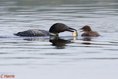 Loon and baby (skivoile) Tags: coth5 sunrays5