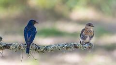 Blue Birds (NBTXN) Tags: blue two bird birds texas pair bluebird bluebirds crescentbendnaturepark