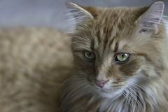 Clem Thursday: What Am I Thinking? (Photo Amy) Tags: red orange pet cute cat fur ginger furry kitten feline tabby longhair adorable fluffy whiskers precious whisker cuddly cuteness longhaired aminal ef50mm18 eartufts toefur canon50d