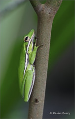 Green Treefrog (Kevin B Photo) Tags: kevinbarry