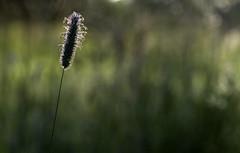 Backlit (Chris Johnston Photography) Tags: backlit grass field green summertime pentax k1 pentaxk1 pentaxart 100mm